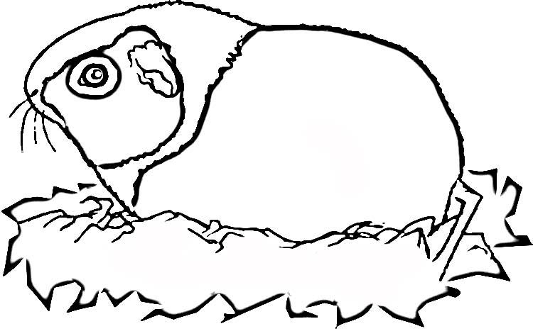 meerschweinchen malvorlagen  malvorlagen1001de